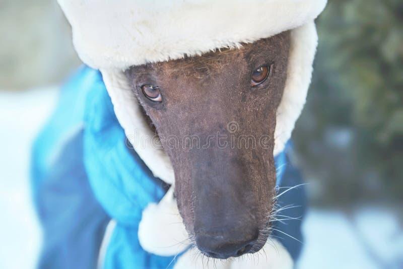 Retrato do close-up de calvo de mexicano do cão de Xolotizcuintle do adulto no chapéu e na roupa do inverno Cão bonito do puro-sa fotografia de stock royalty free