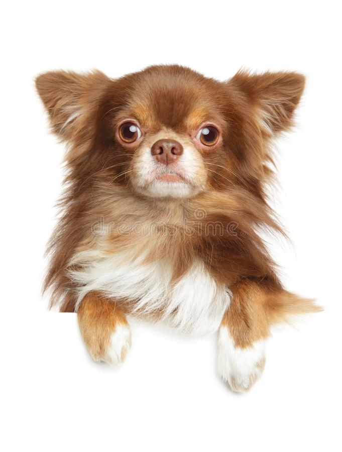 Retrato do close-up de um cão de cabelos compridos da chihuahua imagens de stock