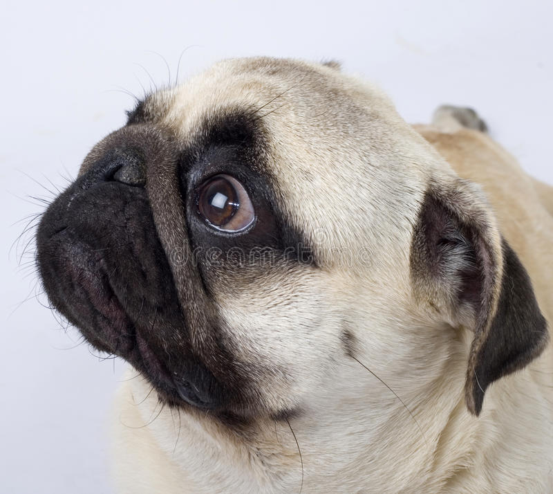 Retrato do close up de um filhote de cachorro do pug imagem de stock