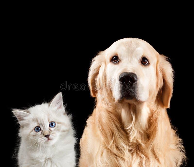 Retrato do Close-up de um gato e de um cão Isolado no fundo preto Golden retriever e disfarce do neva fotos de stock royalty free