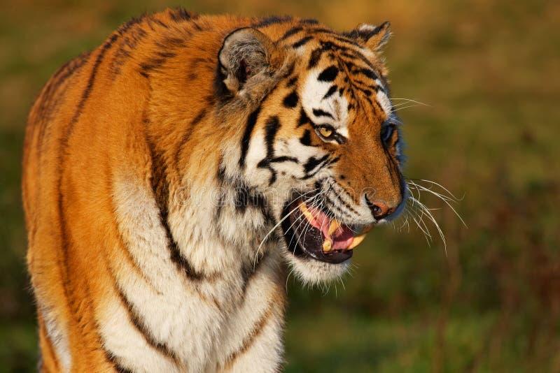 Retrato do close up de um tigre Siberian imagens de stock
