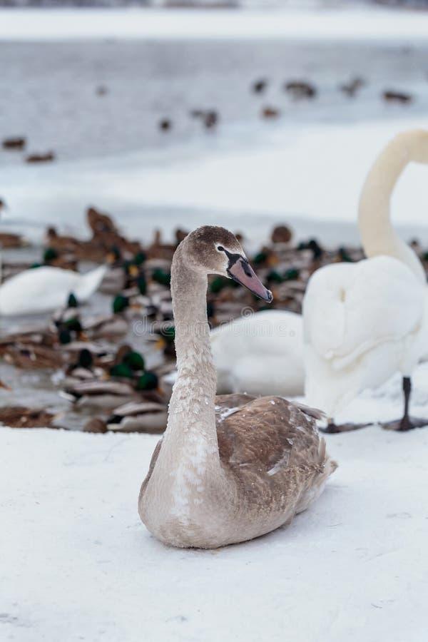 Retrato do close-up de uma cisne cinzenta bonita na neve no fundo do lago fotografia de stock royalty free