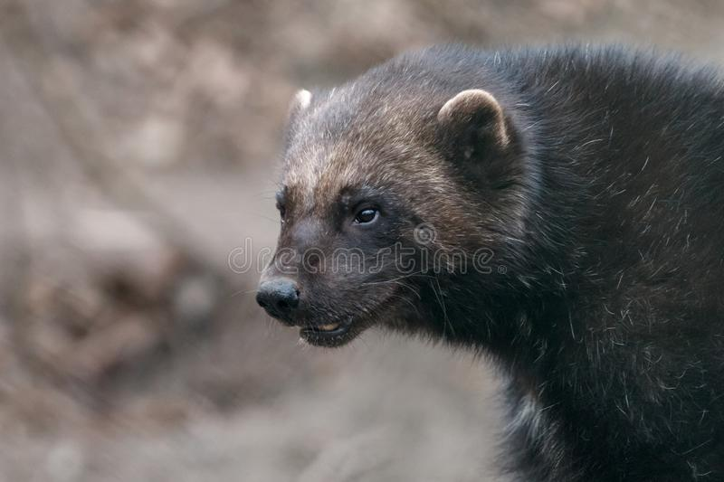 Retrato do close-up de Wolverine imagens de stock royalty free
