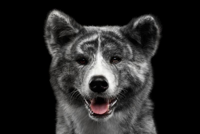 Retrato do close up do cão do inu de Akita no fundo preto isolado imagem de stock
