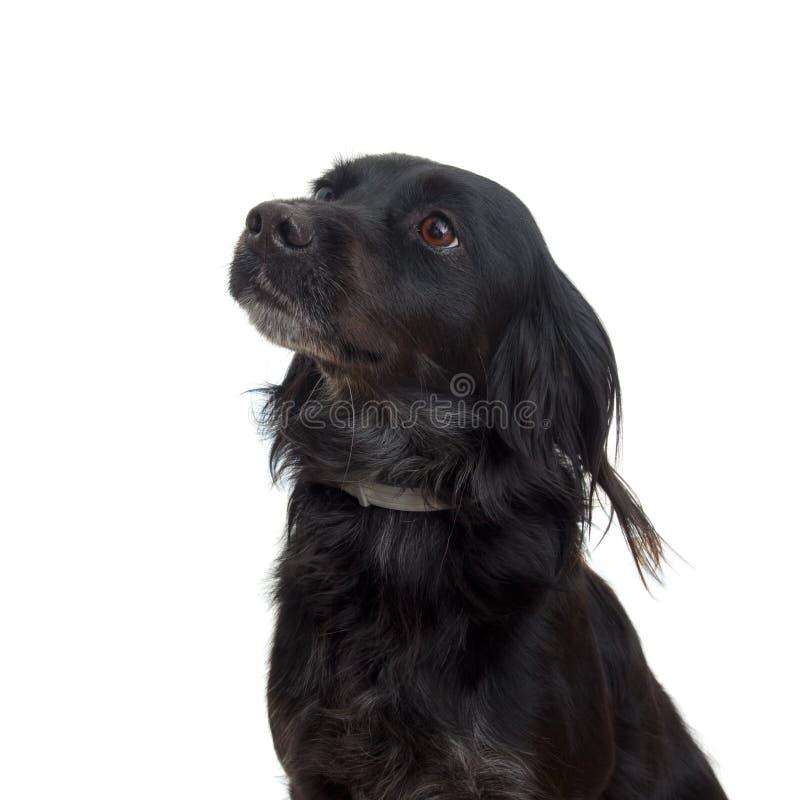 Retrato do close up do cão preto no fundo branco attentive imagem de stock