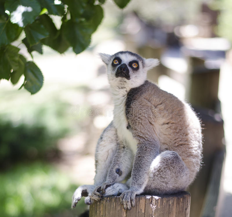 Retrato do Close-up do catta do lemur fotografia de stock royalty free