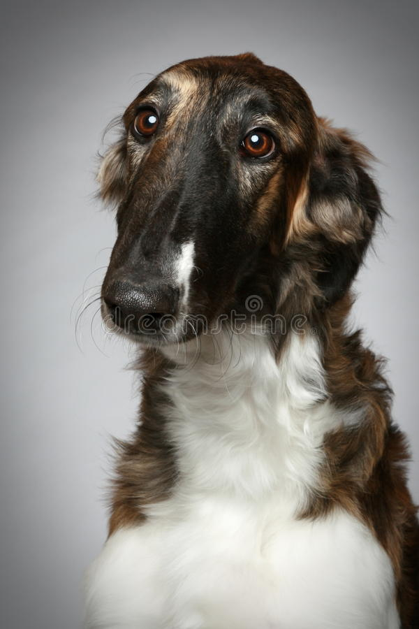 Retrato do Close-up do filhote de cachorro do Borzoi do russo imagem de stock