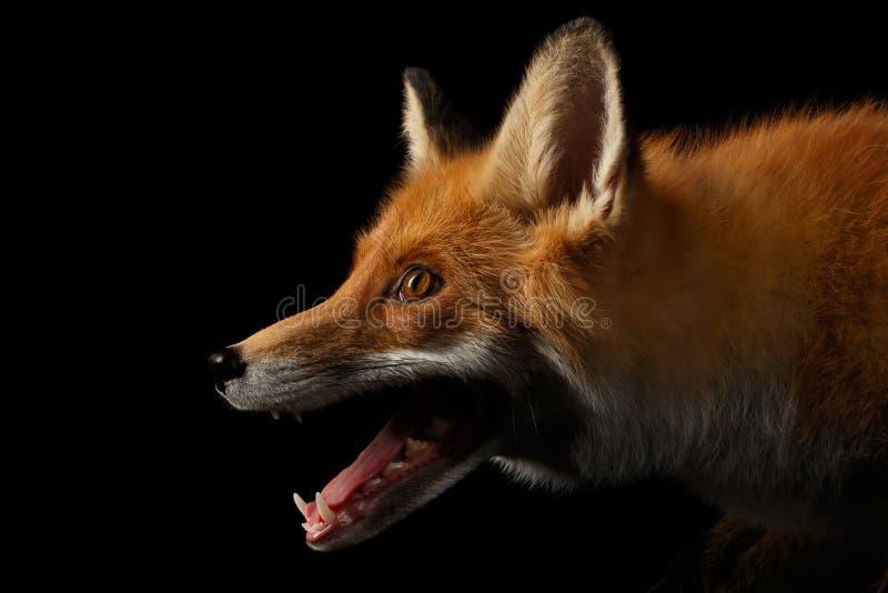 Retrato do close up do Fox vermelho no perfil isolado no preto foto de stock