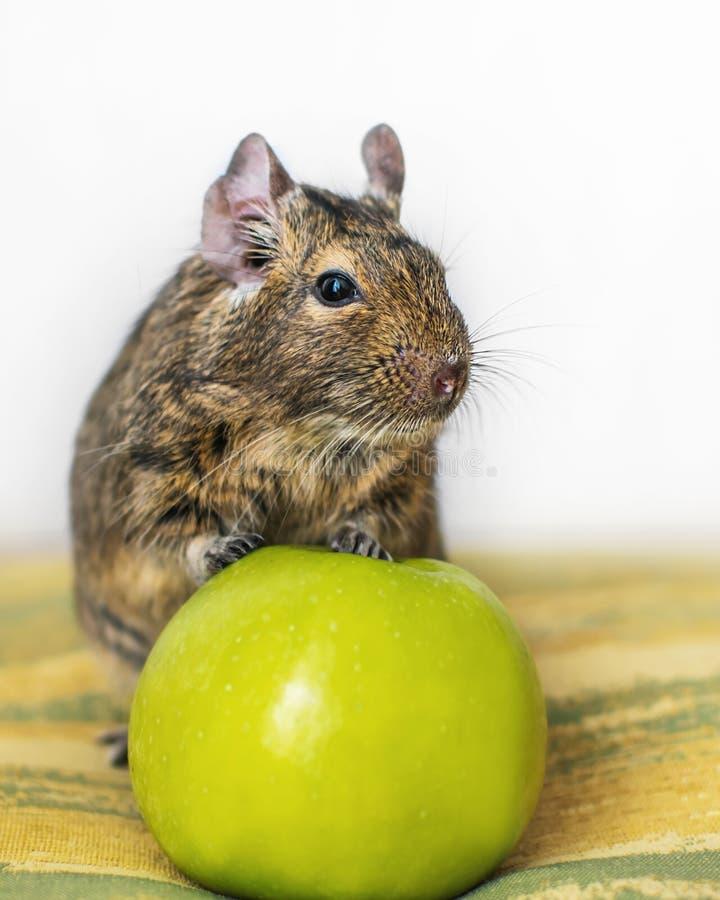 Retrato do close-up do esquilo comum do degu do chileno pequeno animal bonito do animal de estimação que senta-se com a maçã verd imagem de stock