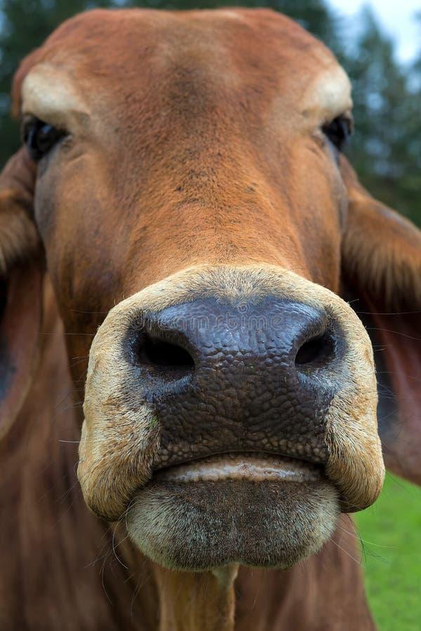 Retrato do close up do gado do brâmane na exploração agrícola fotografia de stock