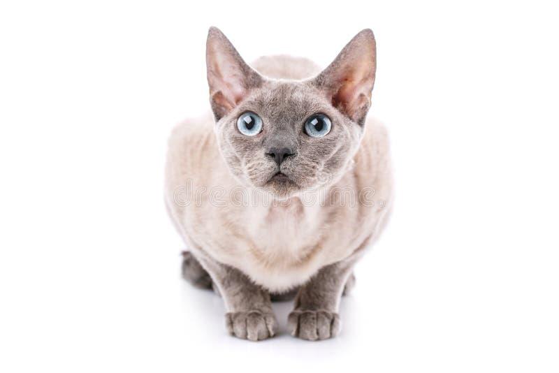 Retrato do close-up do gato de Devon-rex no fundo branco fotos de stock