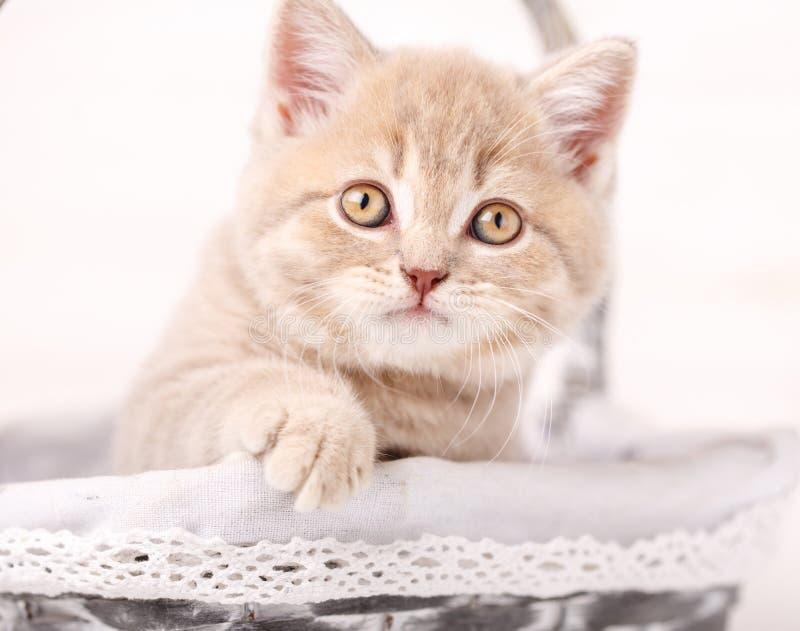 Retrato do close-up do gato escocês vermelho fotos de stock