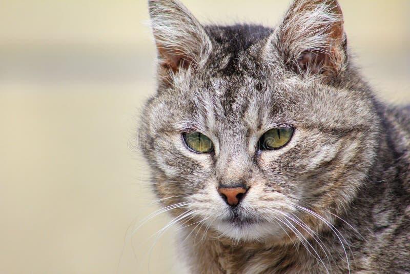 Retrato do close-up do gato severo e s?rio irritado cinzento que olha restritamente B fotografia de stock