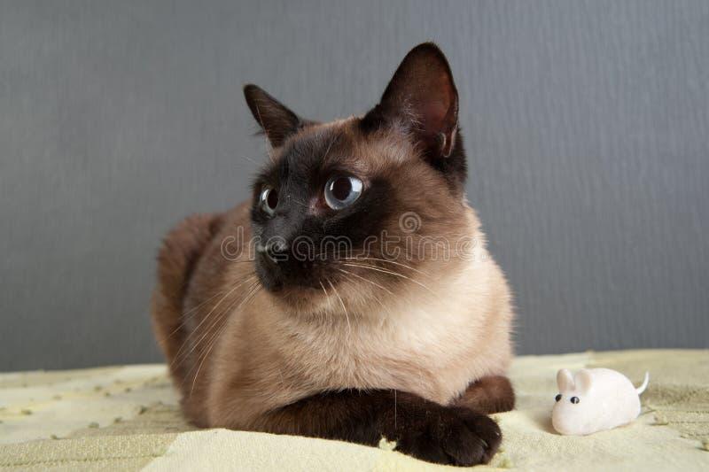 Retrato do close-up do gato Siamese fotos de stock royalty free