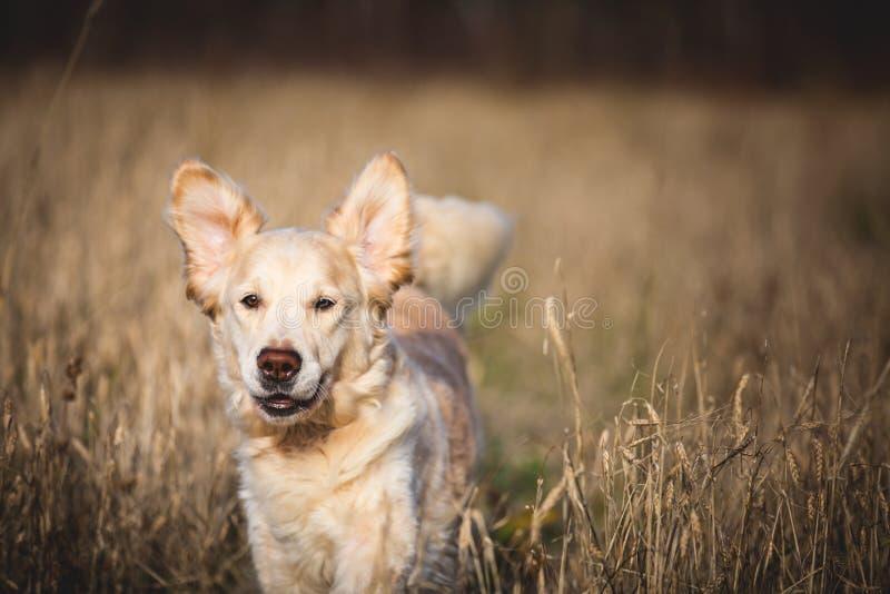 Retrato do close-up do golden retriever engraçado da raça do cão que corre no campo do centeio no outono imagens de stock royalty free