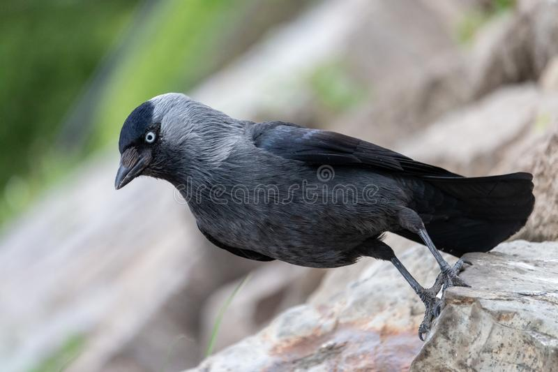 Retrato do close-up do jackdaw europeu que senta-se em uma pedra fotografia de stock royalty free