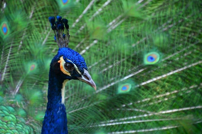 Retrato do close up do pavão imagens de stock