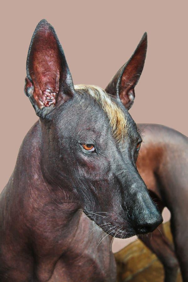Retrato do close-up do tamanho padrão calvo do cão de Xolotizcuintle do adulto, masculino mexicano Cão bonito com mohawk vermelho imagens de stock royalty free