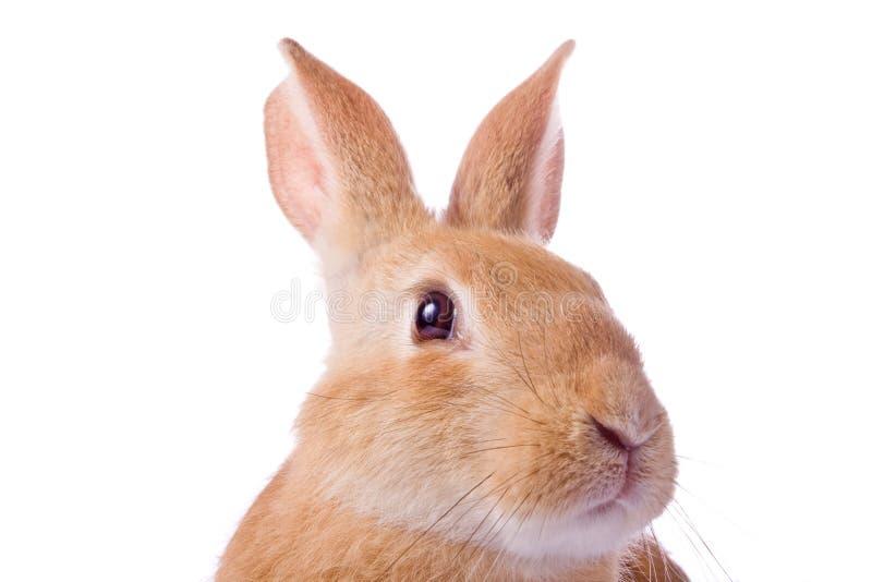 Retrato do coelho vermelho novo foto de stock