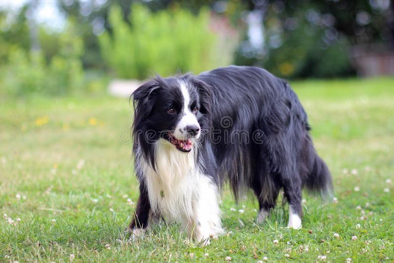 Retrato do collie de beira O cão está estando na grama no parque imagens de stock royalty free