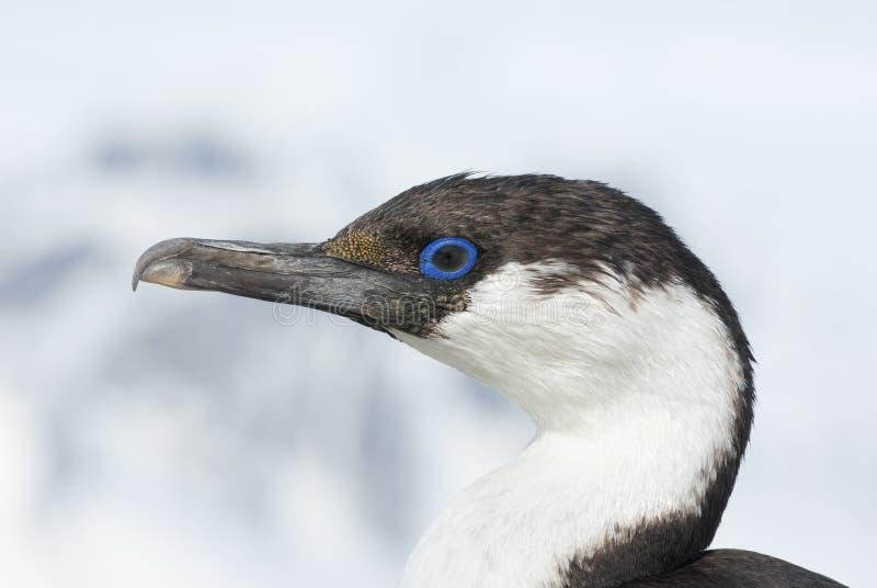 Retrato do cormorants de olhos azuis antárcticos novos. foto de stock