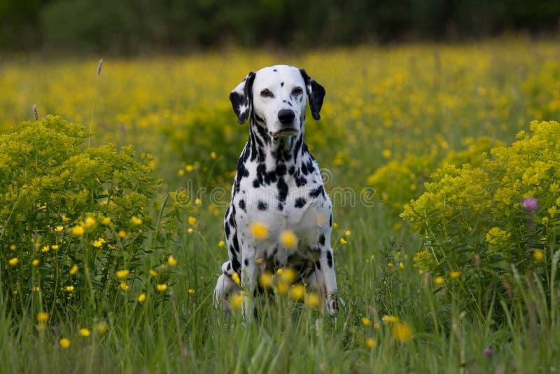 Retrato do dalmatian no prado fotos de stock royalty free