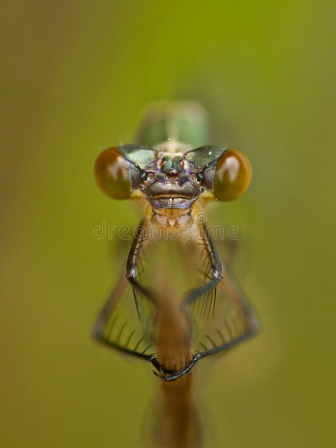 Retrato do damselfly Coenagrion fotografia de stock