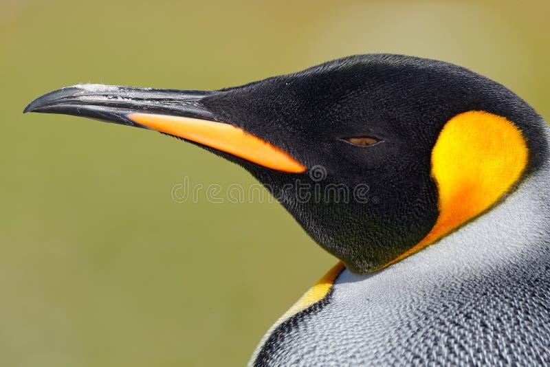Retrato do detalhe do pinguim de rei na Antártica Cabeça do pinguim Pássaro de Falkland Islands foto de stock