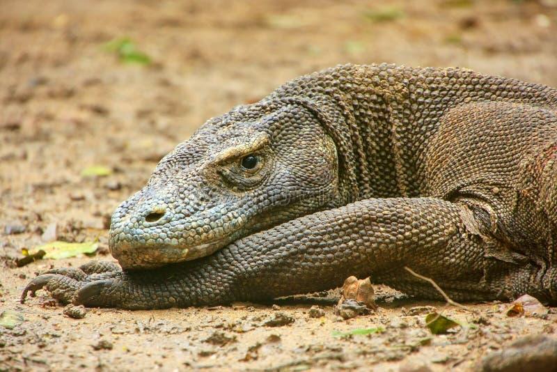 Retrato do dragão de Komodo que descansa na ilha de Rinca em Komodo Nati foto de stock