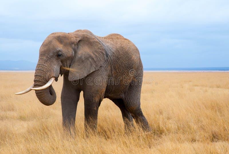 Retrato do elefante imagem de stock royalty free