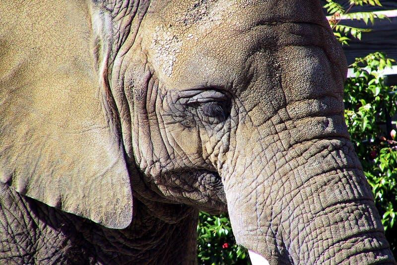Download Retrato do elefante imagem de stock. Imagem de mamífero - 62319