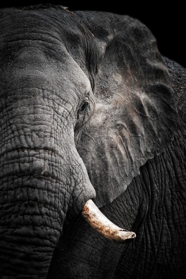 Retrato do elefante africano fotografia de stock