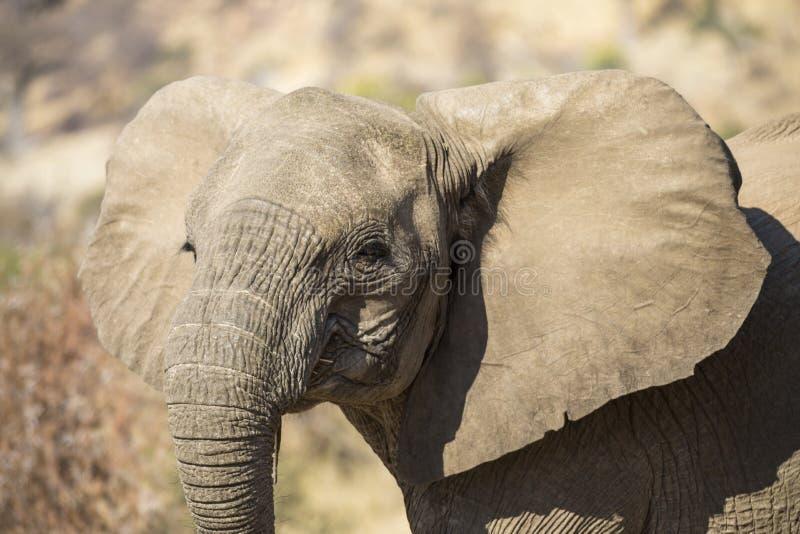 Retrato do elefante africano novo imagem de stock royalty free