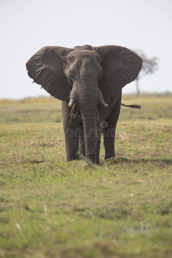 Retrato do elephantbull livre selvagem foto de stock royalty free