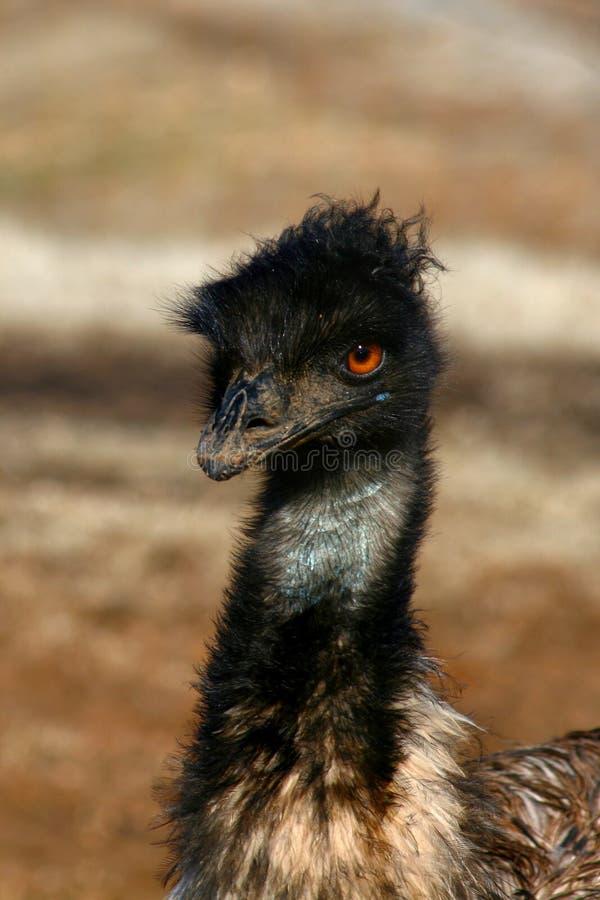 Retrato do Emu fotos de stock