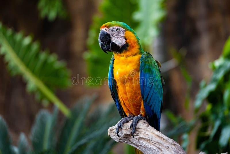 Retrato do escarlate colorido do papagaio da arara contra o fundo da selva fotos de stock royalty free
