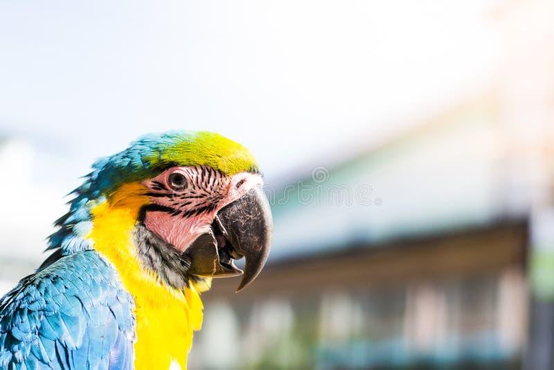 Retrato do escarlate colorido do papagaio da arara que olha ao fotógrafo no fundo borrado fotos de stock royalty free
