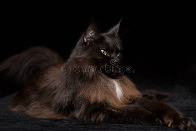 Retrato do estúdio de Maine Coon Cat bonita imagens de stock