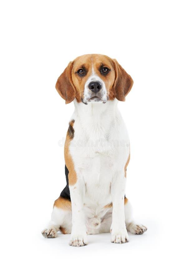Retrato do estúdio do cão do lebreiro contra o fundo branco fotografia de stock royalty free