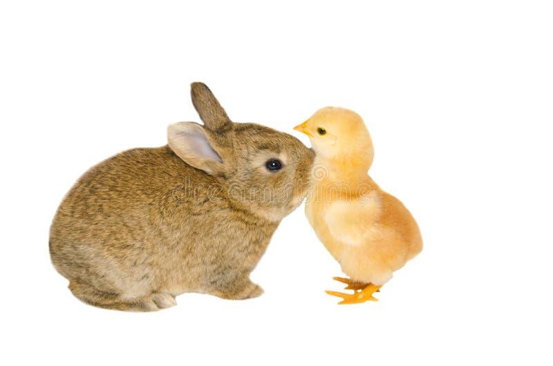Retrato do estúdio do coelho do bebê que beija um pintainho pequeno foto de stock