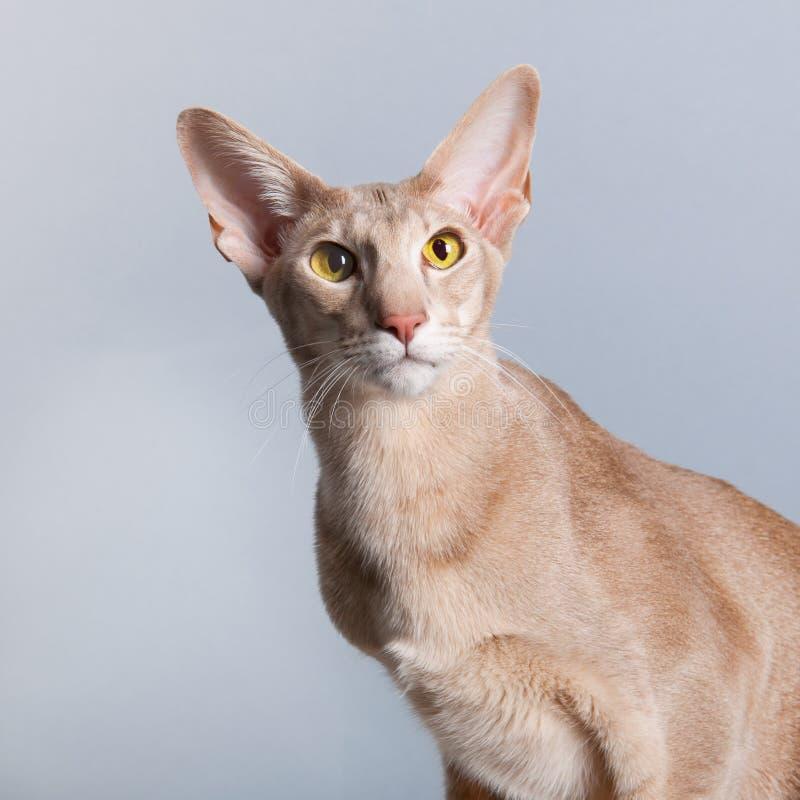 Retrato do estúdio do gato Siamese da alfazema fotografia de stock royalty free