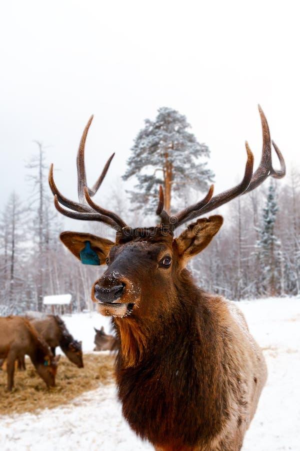 Retrato do fanfarrão real dos veados vermelhos com chifres, maral na exploração agrícola dos cervos foto de stock royalty free