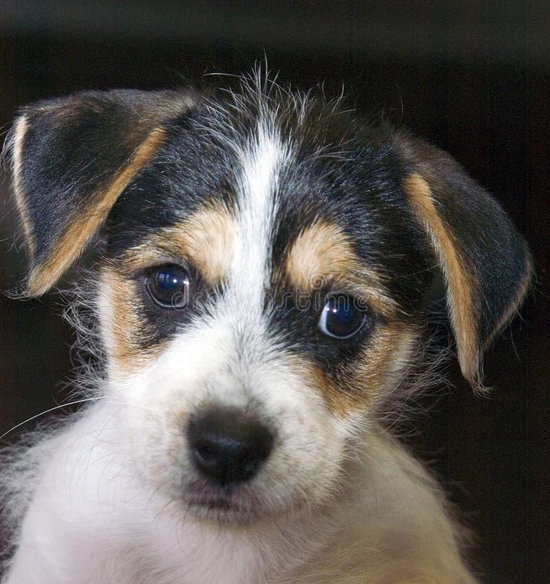 Retrato do filhote de cachorro imagens de stock royalty free