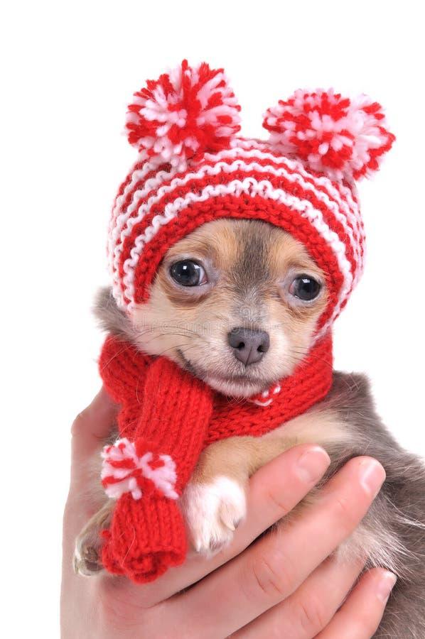 Retrato do filhote de cachorro da chihuahua com cabana engraçada foto de stock