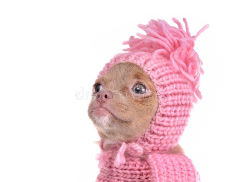 Retrato do filhote de cachorro da chihuahua que desgasta o chapéu cor-de-rosa foto de stock royalty free