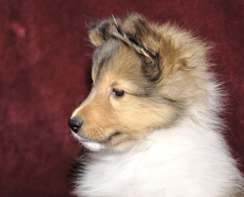 Retrato do filhote de cachorro de Sheltie fotos de stock