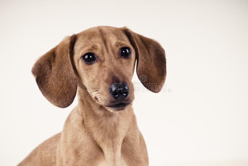 Retrato do filhote de cachorro do Dachshund imagem de stock