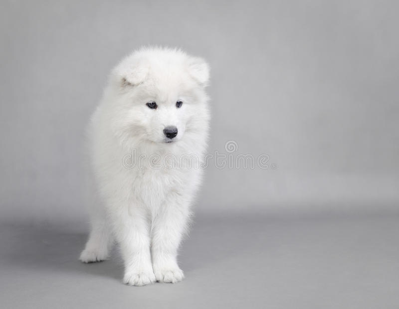Retrato do filhote de cachorro do Samoyed foto de stock royalty free