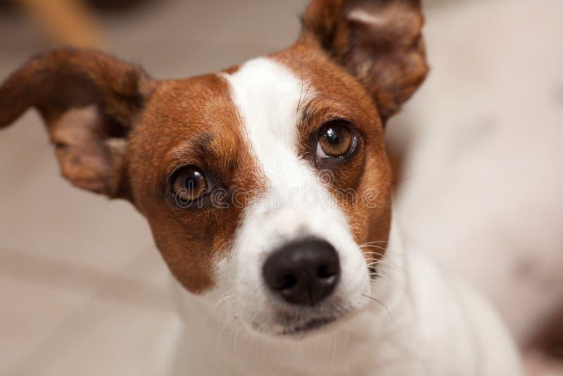 Retrato do filhote de cachorro do terrier de Jack Russell fotografia de stock