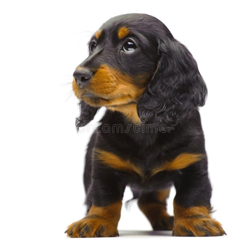 Retrato do filhote de cachorro ereto do Dachshund fotografia de stock